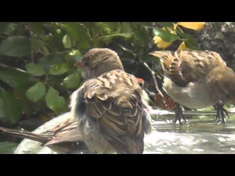 cute bird bath time house sparrow