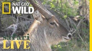 Safari Live - Day 51 | Nat Geo WILD