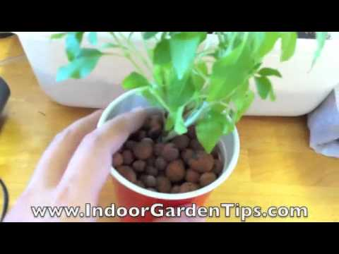 Indoor Garden Tips - Hydroponics - Transplanting Herbs From Containers To Hydroponic System