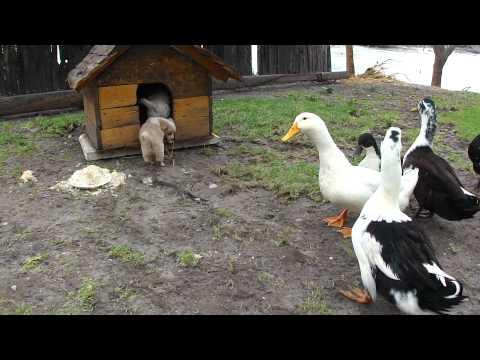 Kucēns pret pīlēm