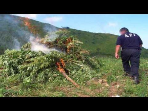 quemando plantíos de marihuana