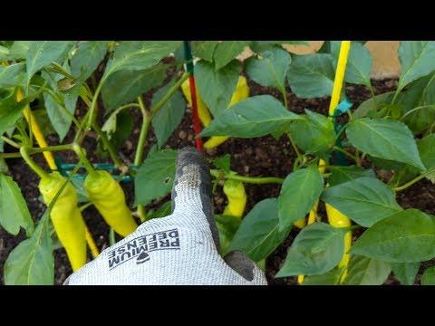 Удачный урожай перцев в Огайо США