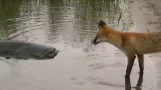 CATFISH VS FOX by CATFISHING WORLD