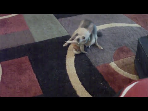 Dogs Mating With A Stuffed Animal  (a Must Watch) video