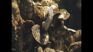 How to build an oyster reef