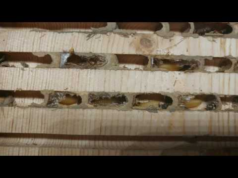 Spring 2017 UPDATE: Orchard Mason Bee Observation House (TheBeesWaggle)