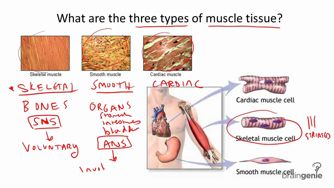 Three Types of Muscle Tissue 8.4.1 Three Types of Muscle