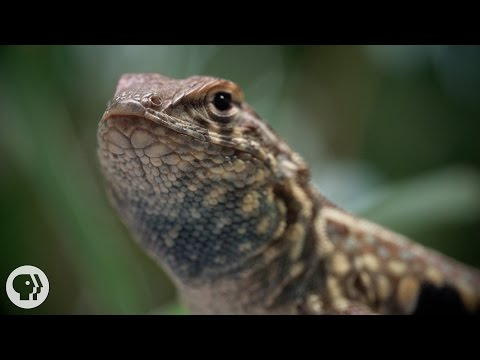 These Lizards Have Been Playing Rock-Paper-Scissors for 15 Million Years  | Deep Look