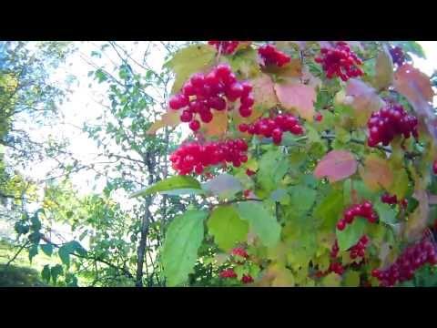 Калина обыкновенная (Viburnum opulus). Как применяют калину в лечебных целях