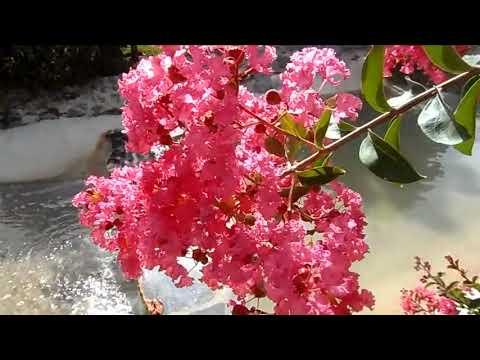 Lagerstroemia indica, лагерстремия индийская сирень, jardin Oriental Bienquerido, 18/07/2017 - YouTube