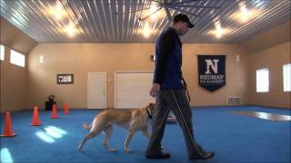 Tilia (Labrador Retriever) Obedience Training Camp