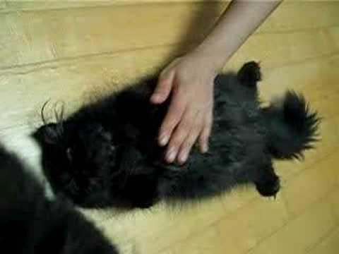 Cute Black Persian Cats so Cute Black Persian