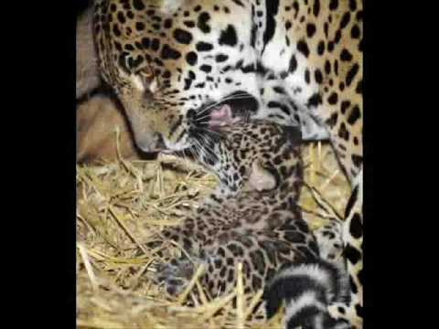 Their are three types of jaguar, the Mexican jaguar, south american jaguar,