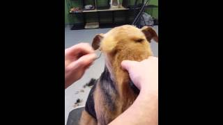 Airedale Pet trim head