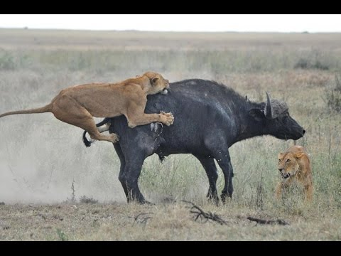 Animal fighting  - any animal world the strong eat the weak that child marriage