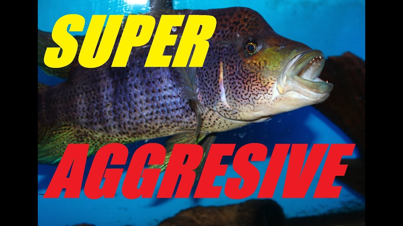 Super aggressive fish update on the big bad wolf cichlid for Why fish is bad for you