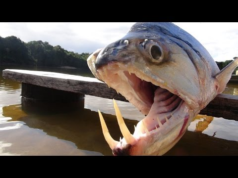 VAMPIRE FISH - Amazon River Monsters