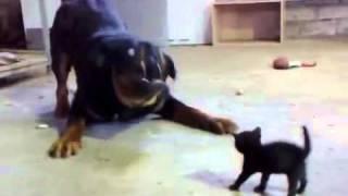 Gato corajoso enfrenta cachorro
