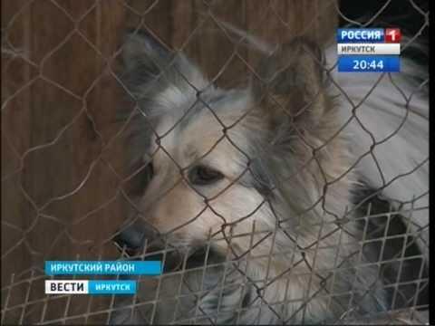 Домашнего пса забрала служба по отлову собак в Иркутске, Вести-Иркутск