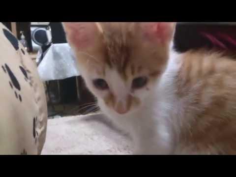 子猫 茶白さん(2016.06.29)