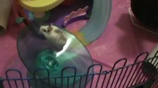 Robo Dwarf hamsters on the playground Part 3. Funny hamsters video