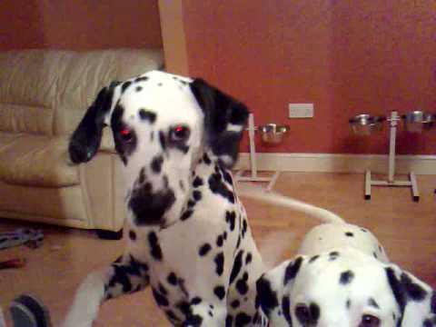 Logan & Piper the Dalmatians get gobby