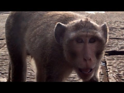 Monkeys in Cambodia: Sitting with Wild Monkeys