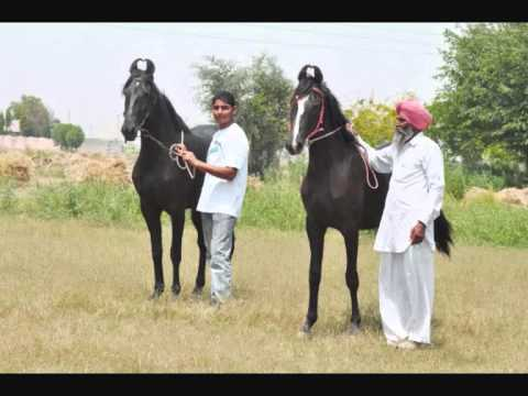 Sidhu & Curry Farm. Marwari Horse video