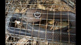 vinhhuyenvu tv | Lên rừng bẫy rắn (Tập 7) Cái kết sau 7 ngày đặt bẫy