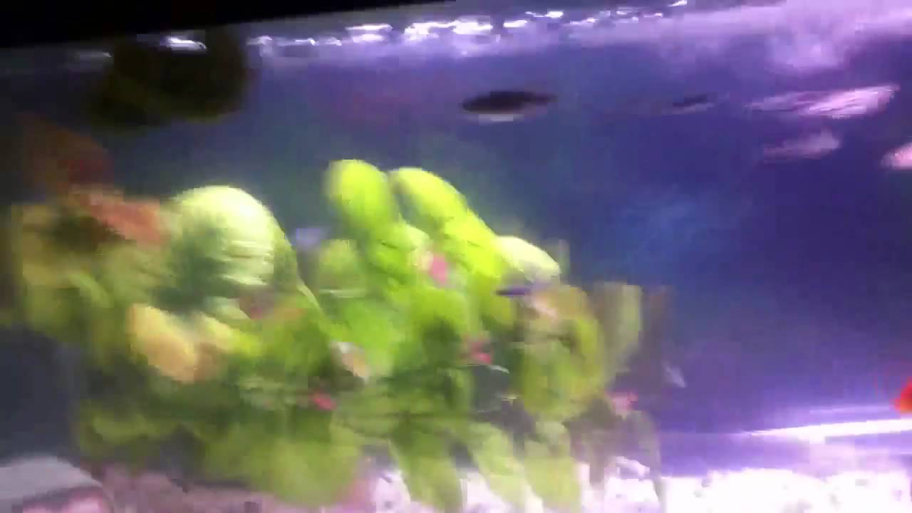 Best way to get rid of cloudy foggy fish tank water youtube for Why is my fish tank water cloudy