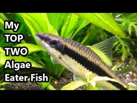 Download bristlenose catfish like to eat algae are not for Best eating fish