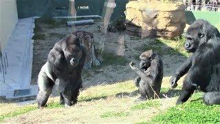 シャバーニ家族 243 Shabani family gorilla