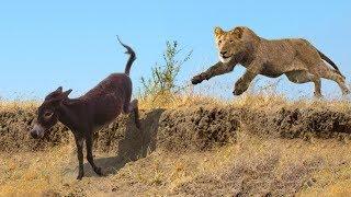 Lions Hunting Donkey | Craziest Animals Assault On Digicam