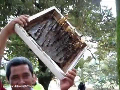 St   Kelulut  Lebah Tukang  Mardi, Serdang, Selangor