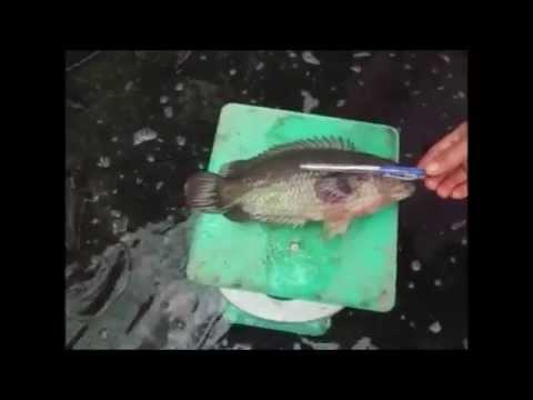 การเลี้ยงปลาหมอในบ่อซีแมนต์