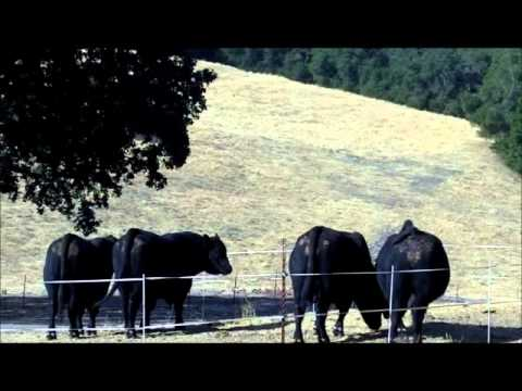 Fair Oaks Ranch Angus Forage Based Bulls Fall 2012 Video.wmv