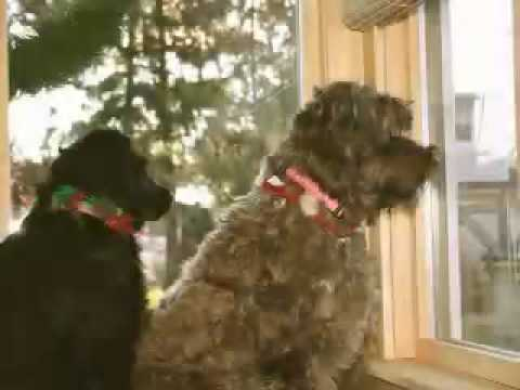 Christmas with Lucie & Luckie-Portuguese Water Dogs