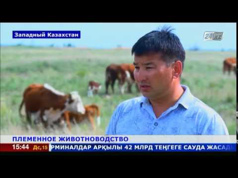 Племенное животноводство в приоритете у фермеров Западного Казахстана