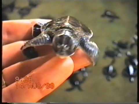 Turtle Farm Kosgoda Sri Lanka