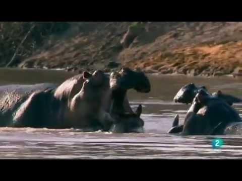 La supremacía del hipopótamo