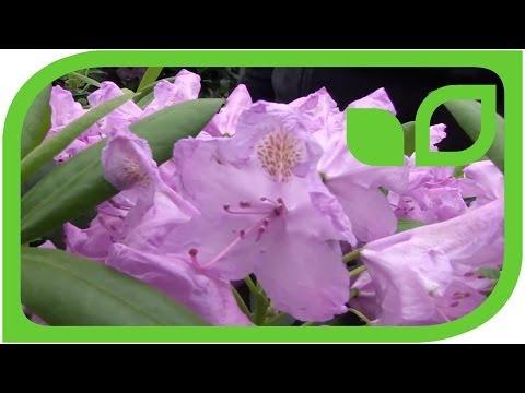 Merkmale Der Rhododendron Catawbiense Hybriden