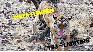 Tiger Flehmen | T83 Lighting | Ranthambore Tiger