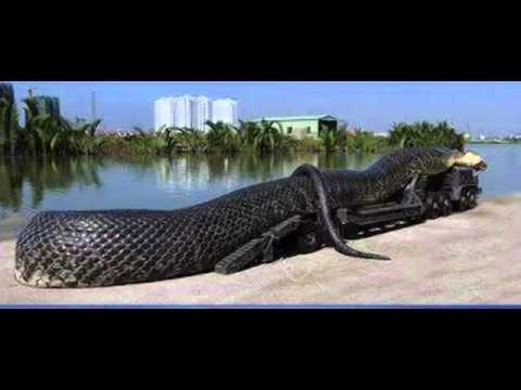 Largest anaconda