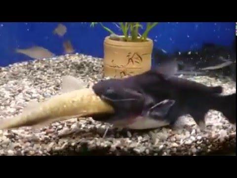 Сомик в аквариуме съел рыбу своего размера
