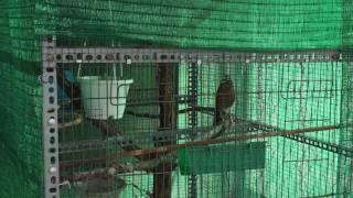 Ghép Hoạ mi trong Aviary
