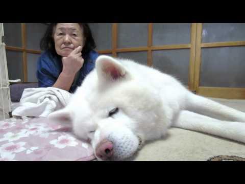 秋田犬が眠くなると約1名も眠くなります【akita dog】