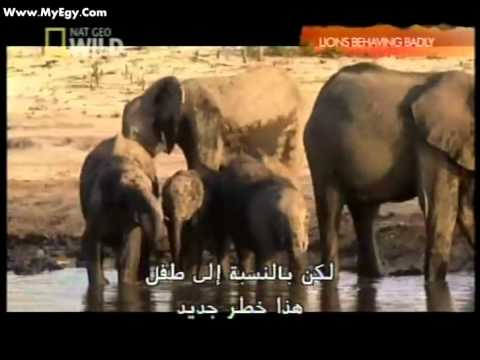 when Lions Behaving Badly  : National Geographic  وثائقي