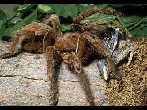 Giant Spider Eating Bird