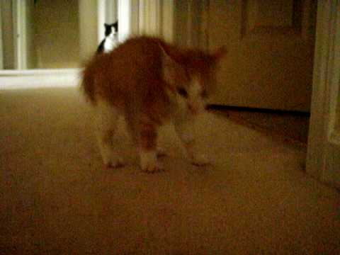 Cat Walking Sideways With Arched Back