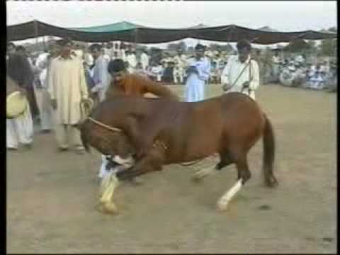 Horse and Cattle show 4